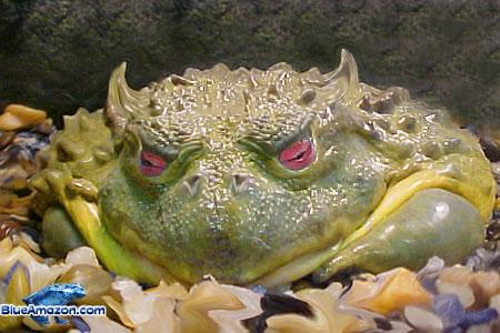 devils-frog - Raw frogs, anyone? - Weird and Extreme